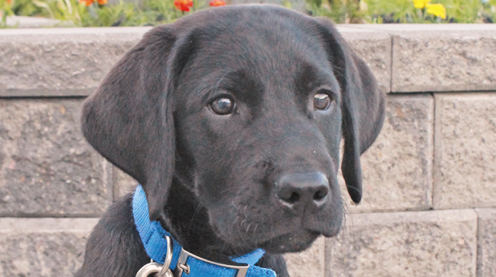 Pat is the puppy who is going through training in Gowanda. At about 18 months of age, the dog is usually ready for further training as a guide dog if it passes muster.