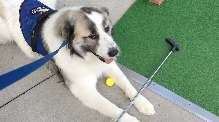Canine Helpers for the Handicapped, Inc. provided this service dog, Kevin, to client Cindy White.