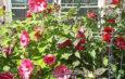Ahibiscus grows in the front yard of Nancy Kalieta's home.